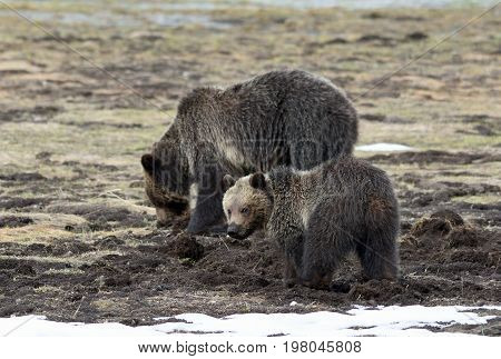 a grizzly cub stares into a camera while it's mother digs