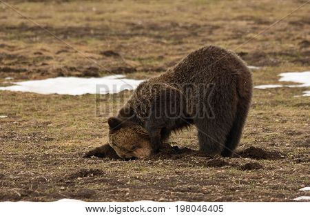 A grizzly bear looks into a hole for food