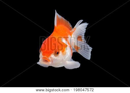 Goldfish .Capture the moving moment of white goldfish isolated on black background