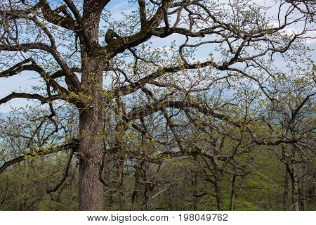 Old branchy oak without leaves. Selective focus.