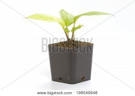 Young Green Seedling Passiflora Plant In Clay Flowerpot