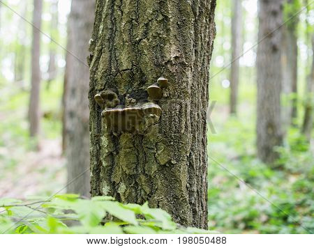 Fomes fomentarius on the oak tree in the wood.