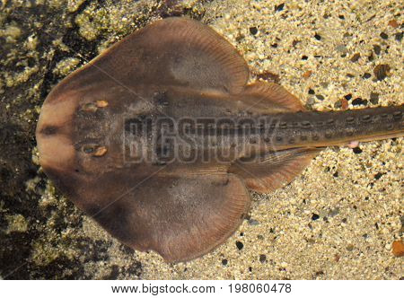 stingray ray in an aquarium water tank