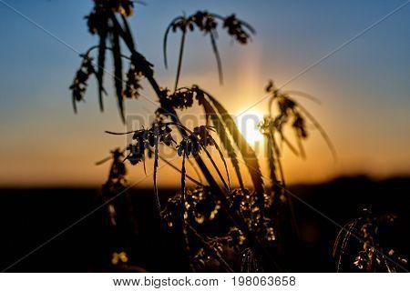 Marijuana. Hemp. Cannabis. Cannabis In The Sunset Sun And On A Blurred Background. Marijuana Bush Fo
