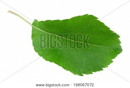 green leaf of сhokeberry isolated on white background