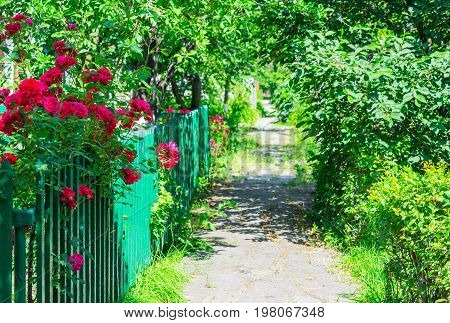 Small rural street with trees and grass in the morning sun. Close up of rosebush, climbing rose with pink flowers, flowers border in blur background.