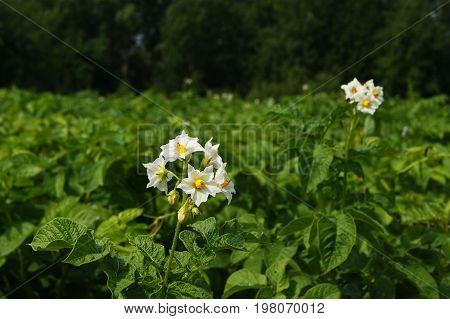 Flower potatoes, garden, plant, vegetable garden, agriculture