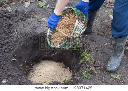 Gardener planting a blueberry bush fertilizes the soil with sawdust. Put sawdust into the ground for fertilizer