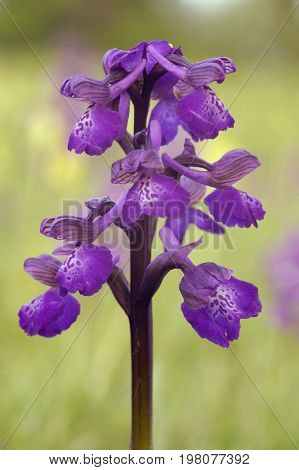 Green-winged Orchid - Anacamptis morio  Flower of unimproved meadows