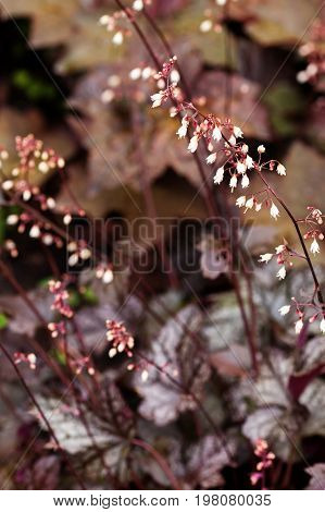 Perennial Plant Heuchera Micrantha In The Garden. Purple Leaves And Blooming Tiny Flowers