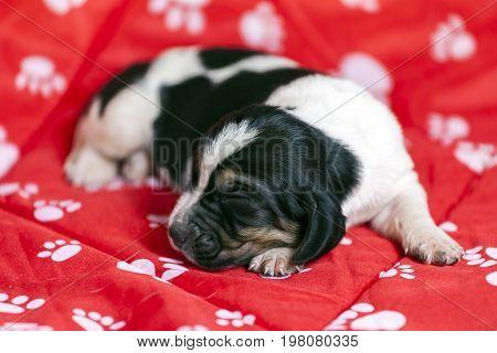 Pretty And Gently Basset Hound Puppy Sleeps