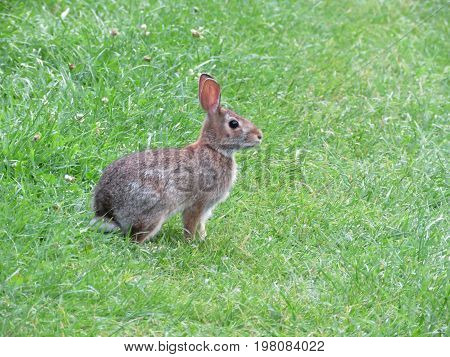 Eastern cottontail rabbit isolated on the grass in Thornhill Canada August 1 2017