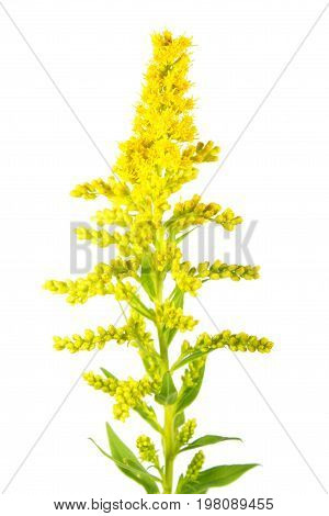 Canada Goldenrod flower (Solidago canadensis) isolated on white background