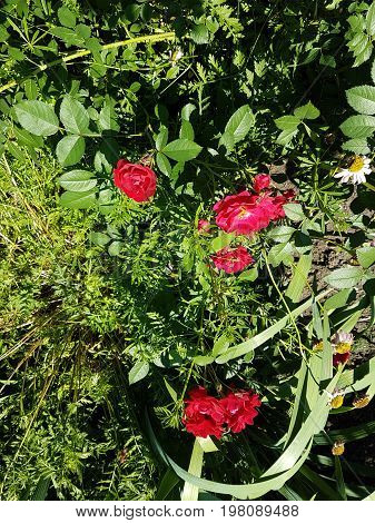 Red roses stand out  amidst the green foliage