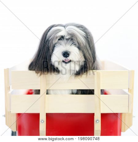 A small furry black and white dog in a red wagon with an isolated white background.