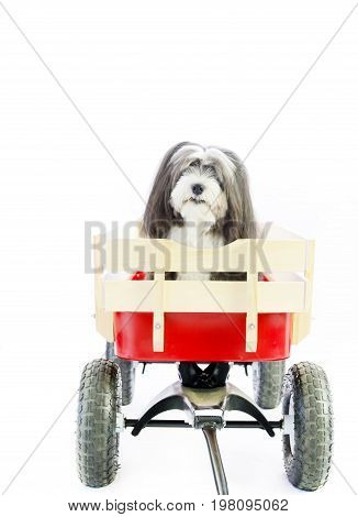 A small black and white long hair Havanese puppy dog in a red wagon with a  isolated white background.