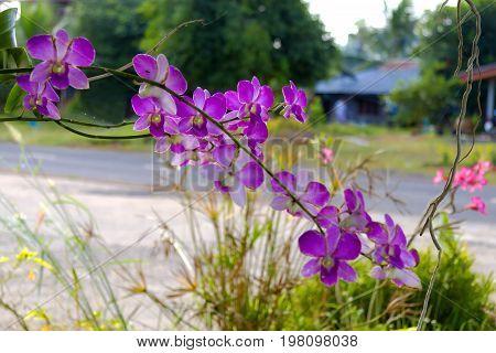 Rhynchostylis retusa vanda orchids flower with background in Thailand.