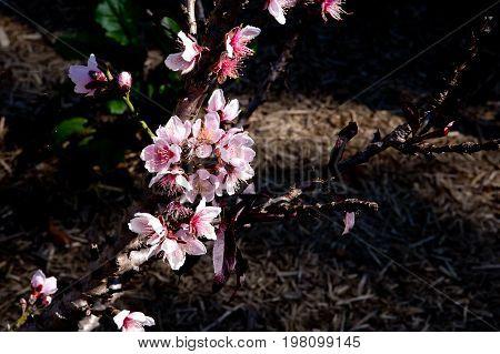 Pink Nectarine Flower Blossoms - Prunus Persica Nectarine - On Tree