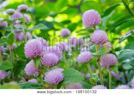 Globe Amaranth Bachelor Button tropical flower in spring season background outdoor nature background