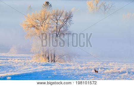 Hoarfrost covered trees in early morning light with a Mule Deer buck in the foreground on a cold winter day in Calgary, Canada