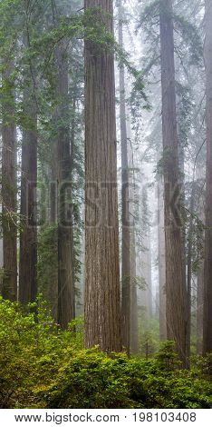 Redwoods and rhododendrons along the Damnation Creek Trail in Del Norte Coast Redwoods State Park, California, USA