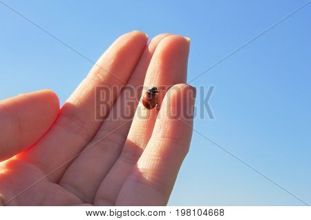 Ladybug walking on hand. Ladybug about to fly