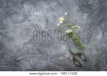 Cut chamomile flower on gray surface, copspace, topview