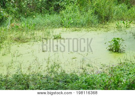 Green Water Lake Lagoon Cover With Duckweed Plant In Pond And Grass In Countryside