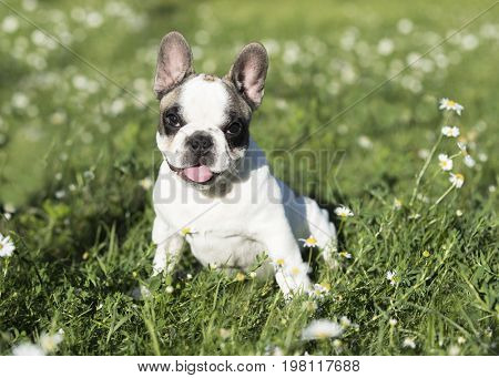 Bulldog puppy. A beautiful black and white bulldog puppy plays, runs, and jumps in fresh green grass