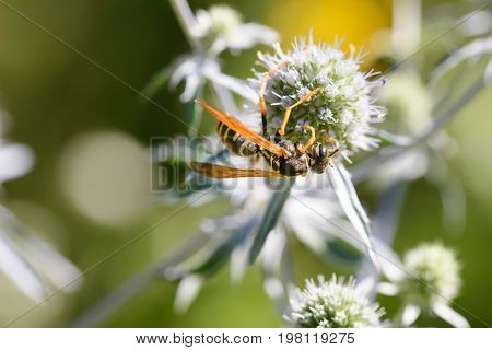 Wasp On A Thistle Flower