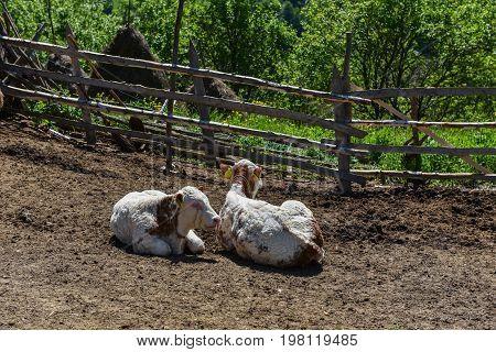 Cow In Farmland