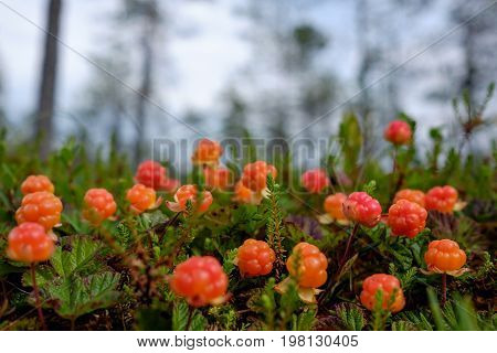 Cloudberry grow in the forest in Russia. Healthy food in wood