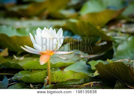 Water lily on the lake, white blossom