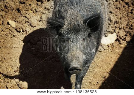 Big wild boar walking in enclosure on sunny day