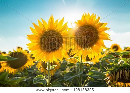 Sunflowers in the field against the sky and sun. Harvest and abundance. The agricultural background.