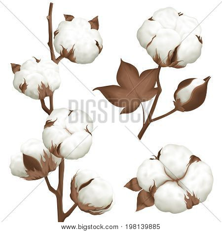 Ripe cotton boll opened seeds case realistic set of 3 plant parts isolated vector illustration