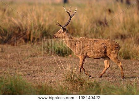 Barasingha deer in the nature habitat in India. Beautiful and big deers in the dark forest. Indian wildlife and very rare animals. Barasinga deers.