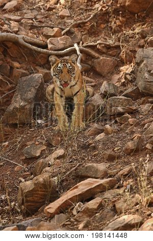 Tigers in the nature habitat. Tiger in the dark forest. Wildlife scene with danger animal. Hot summer in Rajasthan, India. Dry trees with beautiful indian tiger. Panthera tigris