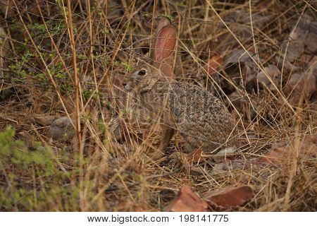 Beautiful indian hare in the nature habitat in India. Very cute indian hare.Indian wildlife and nature.
