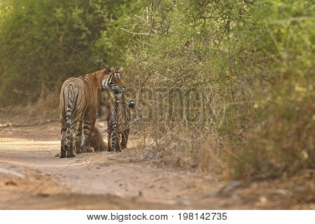 Tigers in the nature habitat. Tigers walking head on composition. Wildlife scene with danger animal. Hot summer in Rajasthan, India. Dry trees with beautiful indian tiger, Panthera tigris