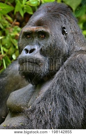 Endangered eastern gorilla in the beauty of african jungle, silverback and family, Gorilla beringei, Democratic Republic of Congo, rare african wildlife
