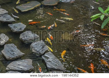 Japanese Koi carps swimming under the rock