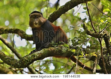Marmoset monkey on a green tree in africa, african wildlife, brown monkey in the nature habitat, wild and nature