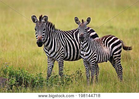 Zebras in the big herd during the great migration in masai mara, wild africa, african wildlife, animals in their nature habitat