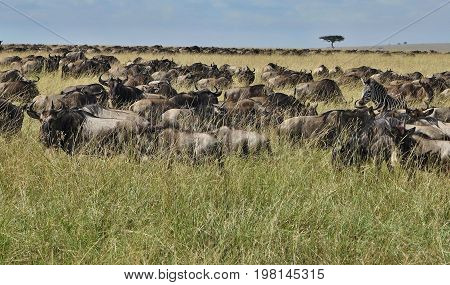 Great migration in Masai Mara, Kenya, Tanzania, Africa, a lot of wild animals in the nature habitat, big moments, wildebeest and zebras