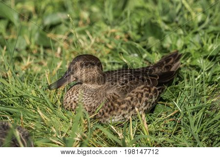 A beautiful duck sits in the grass