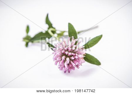 Pink clover flowers on a white background