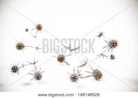 Eryngium plant (amethyst sea holly) on a white background