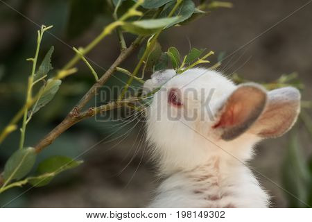 A cute small hare nibbling leaves outdoor