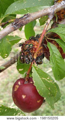 Japanese beetles clustered on a ripe plum
